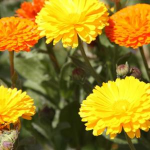 田島川バス停通りの花壇では、マリーゴールド・なでしこ・マーガレレットがコラボして、穀雨の薫りを醸し出している。 の写真に、BGMをインサートし、動画にしました。  動画