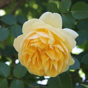 白木峰町・個人のお家のバラ園では、バラの花が花開き、立夏の薫りを醸し出している