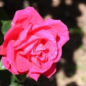 白木峰町・個人のお家のバラ園では、バラの花が花開き、立夏の薫りを醸し出している。 の写真に、BGMをインサートし、動画にしました。  動画