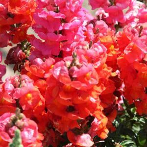 中田町みのり会館の花壇では、キンギョソウ・パンジー・なでしこ・マーガレットがコラボして、向暑の薫りを醸し出している。 の写真に、BGMをインサートし、動画にしました。  動画