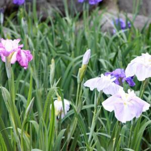 大村公園では、菖蒲の花が咲き誇り、初夏の薫りを醸し出している