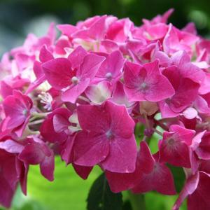 南島原市有江町の民家のお庭には、紫陽花が咲き誇り、梅雨空の薫りを醸し出している