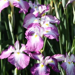 大村公園では、菖蒲の花が咲き誇り、初夏の薫りを醸し出している。 の写真に、BGMをインサートし、動画にしました。  動画