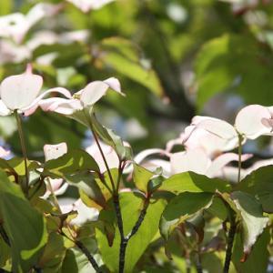 雲仙池ノ原園地では、山法師が花開き、梅雨空の薫りを醸し出している