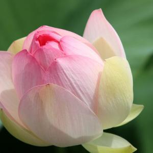 唐比ハス園では、ハスが花開き、小暑の薫りを醸し出している
