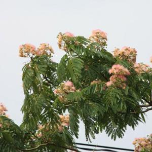 長田バイパス沿いでは、ネムノキの花が咲き誇り、梅雨寒の薫りを醸し出している。 の写真に、BGMをインサートし、動画にしました。  動画