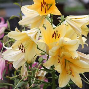 高来町小峰通り民家の花壇では、カサブランカが咲き誇り、小暑の薫りを醸し出している