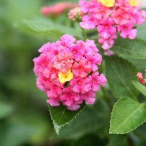 我家の花壇では、ランタナが花開き、大暑の薫りを醸し出している