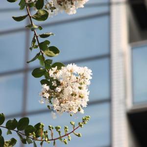 長崎県道555号線・昭和通りでは、百日紅が花開き、大暑の薫りを醸し出している