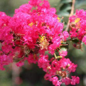 白岩町通りの街路樹には、サルスベリが咲き誇り、涼風の薫りを醸し出している。 の写真に、BGMをインサートし、動画にしました。  動画