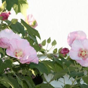 高来町Y医院の庭には、酔芙蓉が花開き、秋冷の薫りを醸し出している。 の写真に、BGMをインサートし、動画にしました。  動画