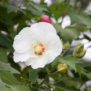 長崎県道136号線町名通り・吉岡医院では、酔芙蓉が花開き、秋空の涼風を誘っている
