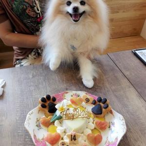 ポメラニアン「Babooちゃん」のBirthdayケーキ