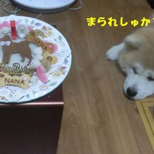 秋田犬「ナナちゃん」のBirthdayケーキ