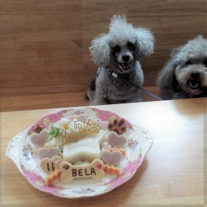 トイプードル「ベラちゃん」のBirthdayケーキ