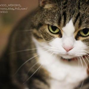 ニコさんは猫である。