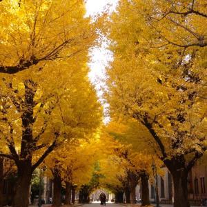 Autumn  leaves Season ❤️ 東京大学 本郷キャンパス