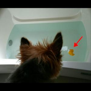 アヒルちゃんと入浴