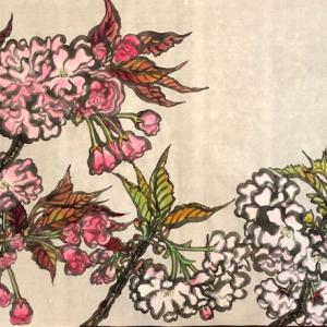 目黒川沿いの八重桜