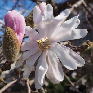 こぶし咲く春なのに