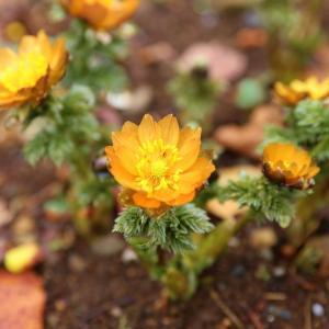 オレンジ色の福寿草
