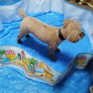 豊能 箕面森町  犬幼稚園 「プール練習頑張っています」