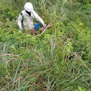 28,30日と、甘茶剪定作業で、9月目標突破、6150本の挿し木苗をプランターに、
