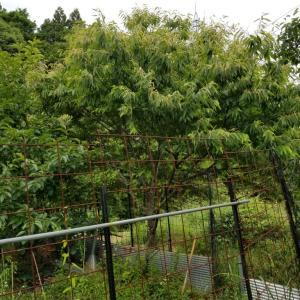 犯人捜し、我が家の畑で、枝豆が、オクラが、大根が食われた。
