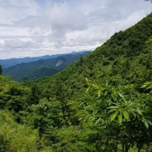 山にある甘茶の全体像を把握するために、歩く、昨日(6月25日)、