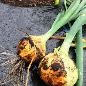 土に触れる機会をもつと、免疫を高めるのに効果ありで、治りが早くなります!