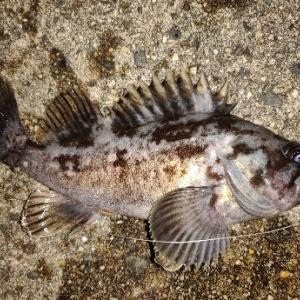 今更釣り納めと釣り始めの釣行記 【シーバス 根魚 知多半島】