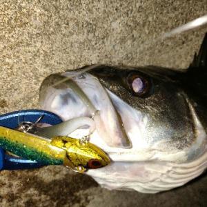 シーバス釣りに来たんだけど!VJにいいサイズのメバル!【シーバス メバル 知多半島】