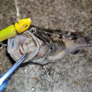 渋々な状況で釣れたのはやっぱりあいつ 【知多半島 シーバス 根魚】
