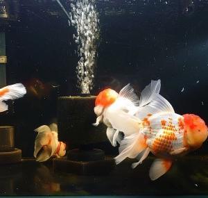 金魚眺めて過ごそうGW