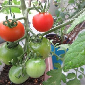 ベランダ事情!トマトはすごい!!