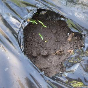 レンタル農園便り!第36弾!プティベールの苗を植えました!