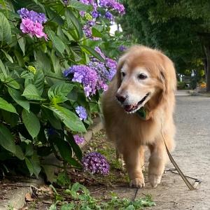 紫陽花散歩♪