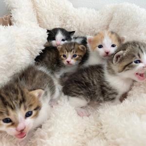 捕獲器で出産した子猫、預かりさんへ
