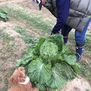 白菜初収穫でシャクシャク。