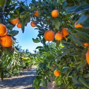 last orange grove