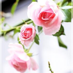 ポツポツと咲き出したバラ