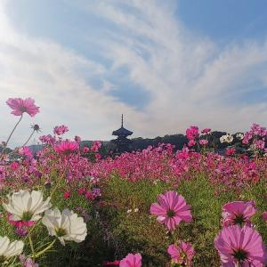 奈良 法起寺のコスモス