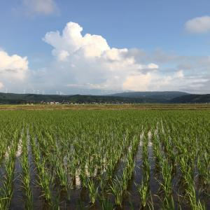 【水稲栽培】稲の収量はどうやって決まる?6月の稲は見ていて一番楽しい季節!