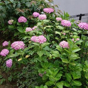 【お花】庭の紫陽花★カシワバアジサイetc・・・写真多め31枚♪