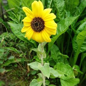 【お花】大好きなひまわり★庭のお花&色んなお花♪