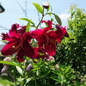 【お花】ユリの花★赤い(レッド)カサブランカが咲きました♪