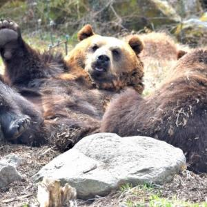 駆除したイノシシ、シカ 肉食動物の「ごちそう」に ヒグマが生き生きと…各地の動物園で広がる「屠体給餌」