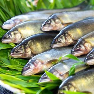 毎日、新鮮な天然鮎が入荷しています!