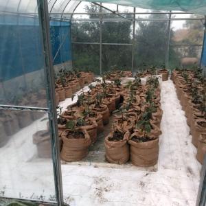 育苗ハウスで柑橘苗を育てる