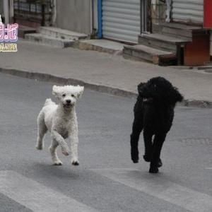 【中国】青島の四方路を激走するプードル!激怒する柴犬!!